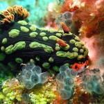 Beautiful Underwater Picture of a Nembrotha Kubaryana
