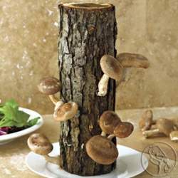 Shiitake+Mushrooms_2