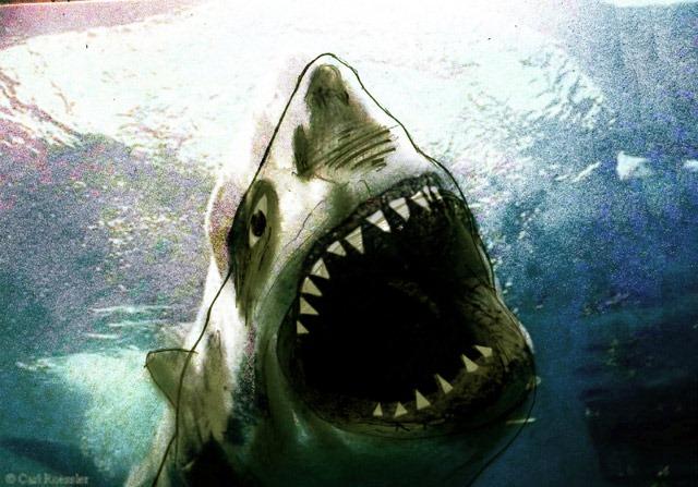 Peatree-Bojangles-shark