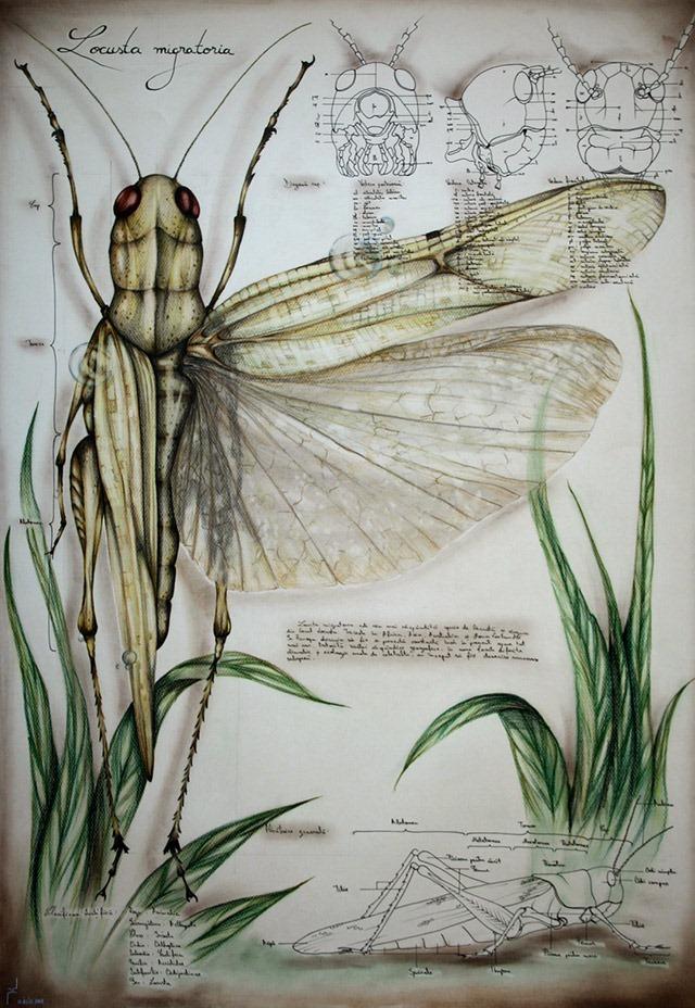 Paula-Duta-Entomology-of-Locusta-Migratoria-01