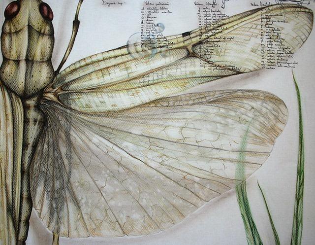 Paula-Duta-Entomology-of-Locusta-Migratoria-03