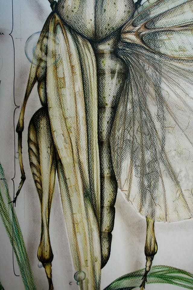 Paula-Duta-Entomology-of-Locusta-Migratoria-04