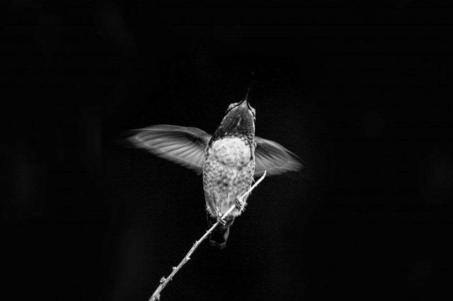 Flight-of-the-Hummingbird-Pete-Johnson-Powerful-Black-and-White-Photography