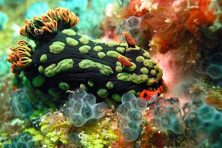 Nembrotha Kubaryana - Sea Slug