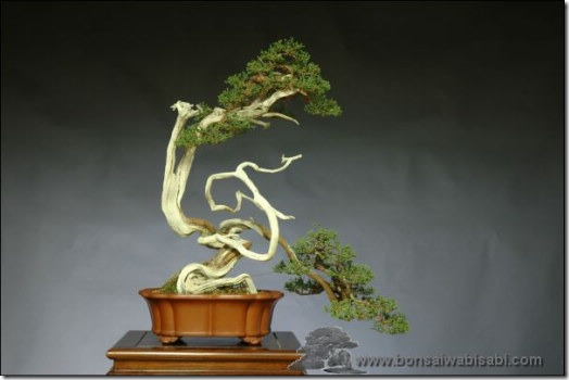 Bonsai-shinpaku-Mario-Komsta