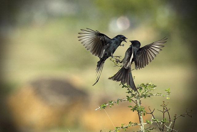 The-Drongo-Love