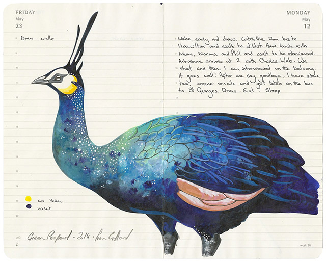 All-My-Beautiful-Boys-Ornithological-Drawings-by-Fran-Giffard-Green-Peafowl